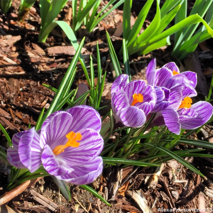 bonus picture: look at the pretty crocuses I planted in our front yard!